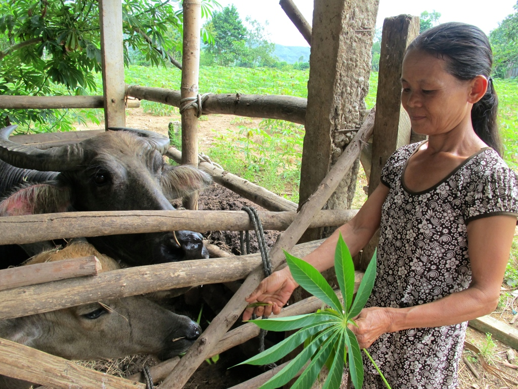 A woman feeds her water buffalo, which she was able to purchase through a microloan from MQI. (Photo by Nissa Rhee, June 2014)
